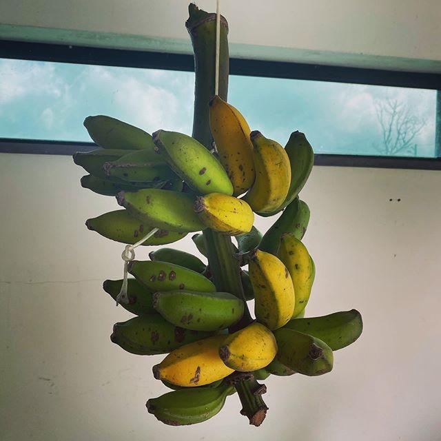 Bananas from my backyard !