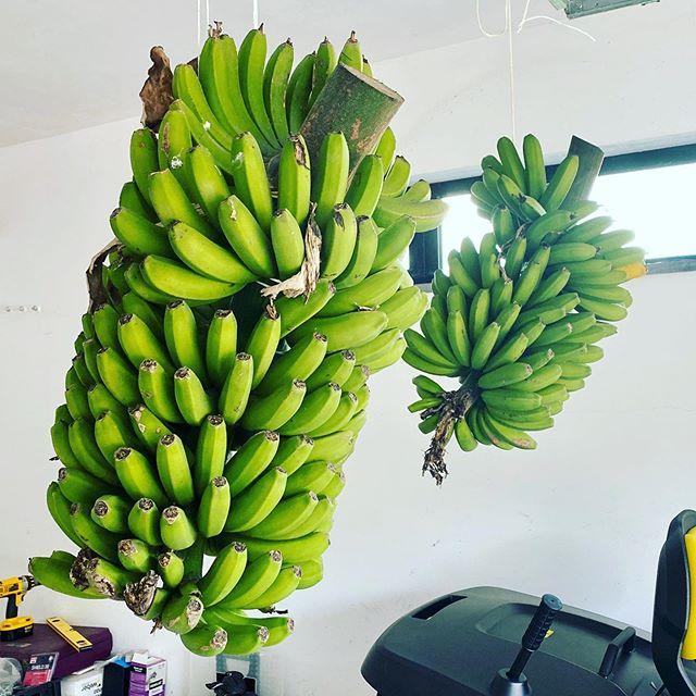 More bananas 🍌 from my backyard 😋